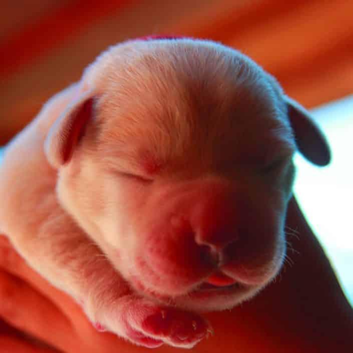 test genetici labrador