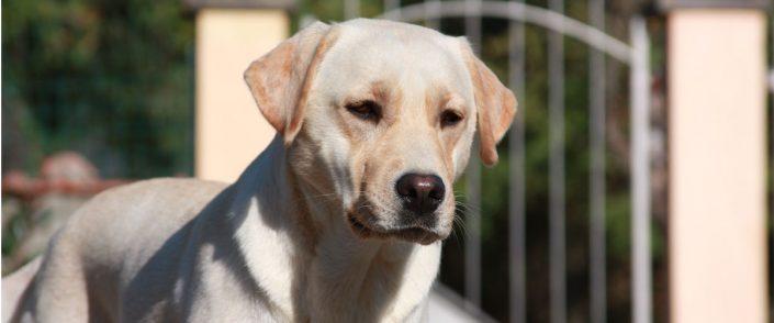 Labrador Linea di Sangue da Lavoro e da Bellezza