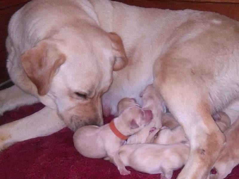 Cucciolata Labrador giallo