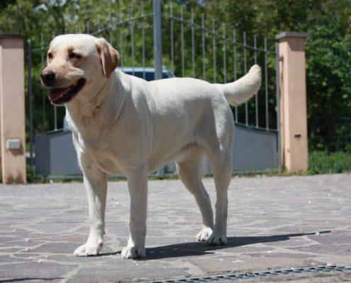 Labrador bionda allevamento toscana