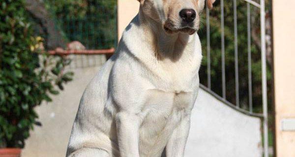 Il successo del Labrador una popolarità meritata