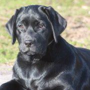 Perchè un nostro Labrador