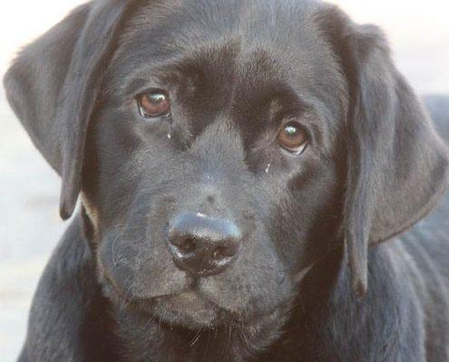 Labrador nera morfologia