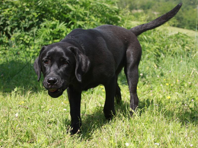 Alimentazione Del Labrador Obesità E Sviluppo Osseo