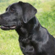 toelettare un Labrador