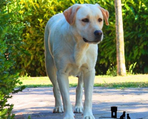 passione labrador retriever