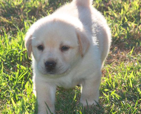 cucciolo labrador maschio