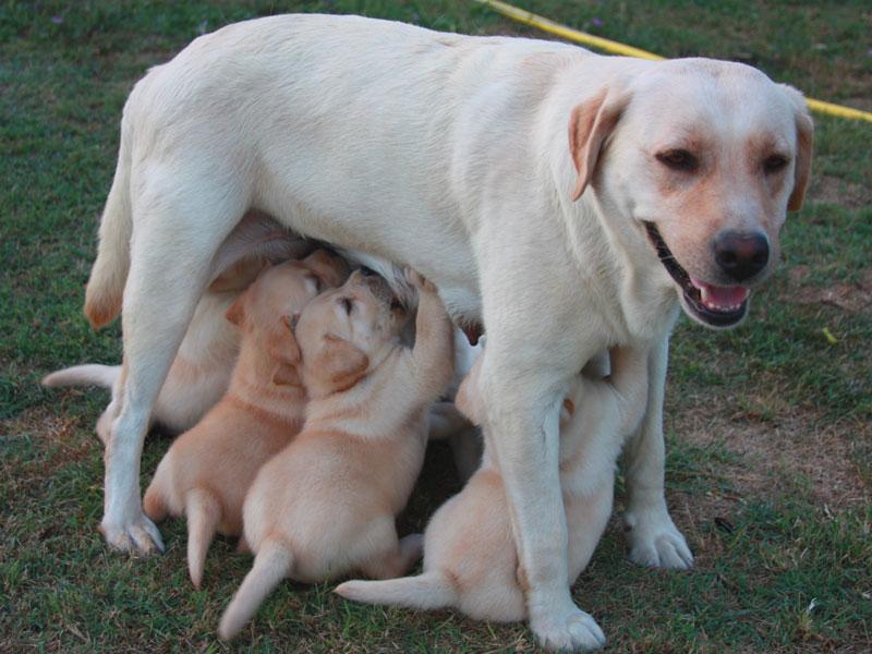 alimentazione labrador cuccioli salute