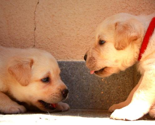 displasia cuccioli labrador