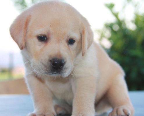 salute cucciolo labrador