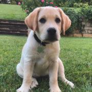 brenda labrador cucciolo giardino