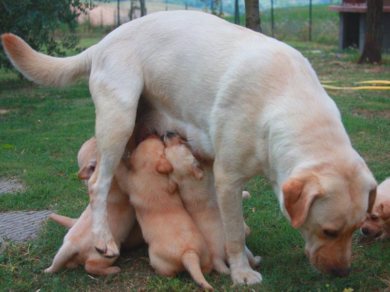 Cuccioli Labrador toscana
