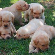 parassiti cane labrador