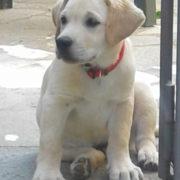cucciolo labrador bisogni