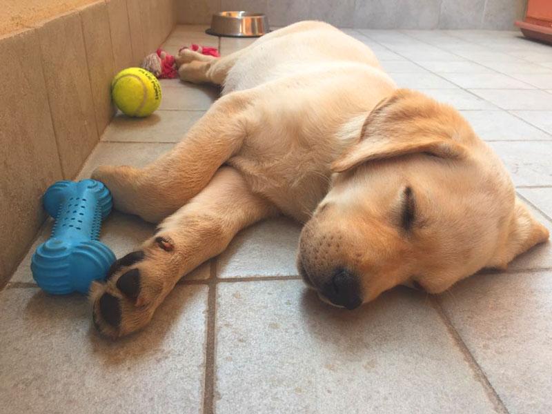 foto cucciolo labrador dorme