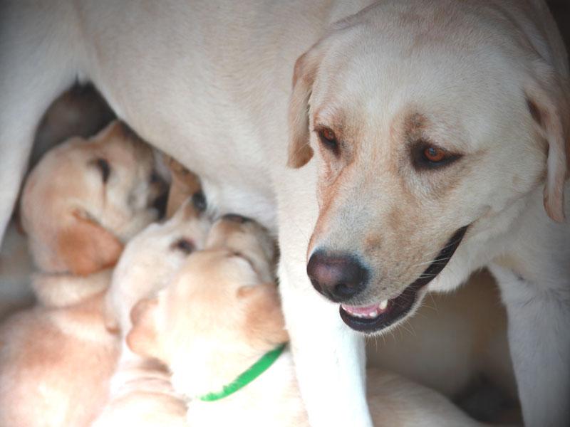 crescere cucciolo labrador