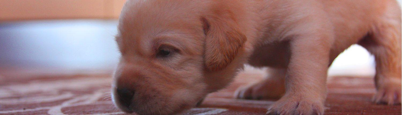 cuccioli labrador salute