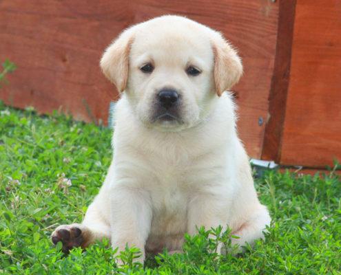 foto labrador cucciolo salute