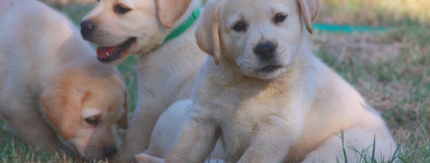 cucciolo labrador maschio femmina