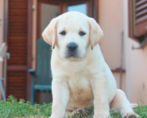 maschio labrador cucciolo disponibile