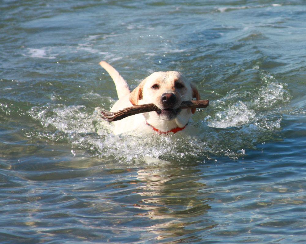 labrador allevamenti nuoto lontra