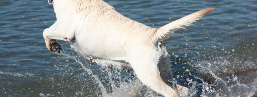 labrador toscana nuoto salute