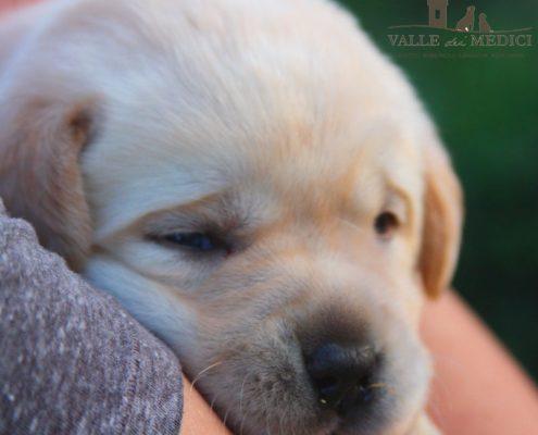 cucciolo labrador biondo