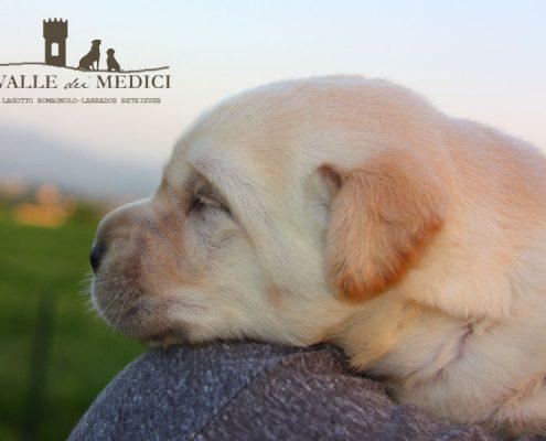 foto cucciolo labrador allevamento
