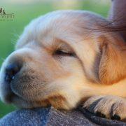 immagine cucciolo labrador pedigree