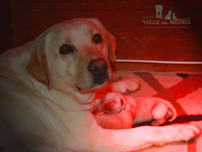labrador miele con cucciolo