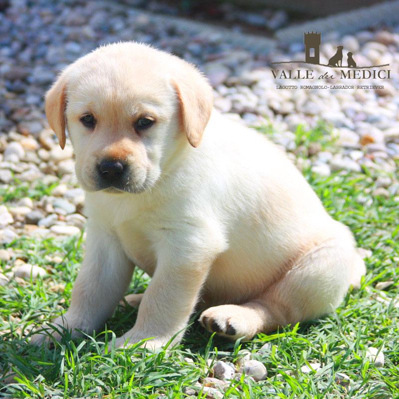 allevamenti labrador lombardia cucciolo