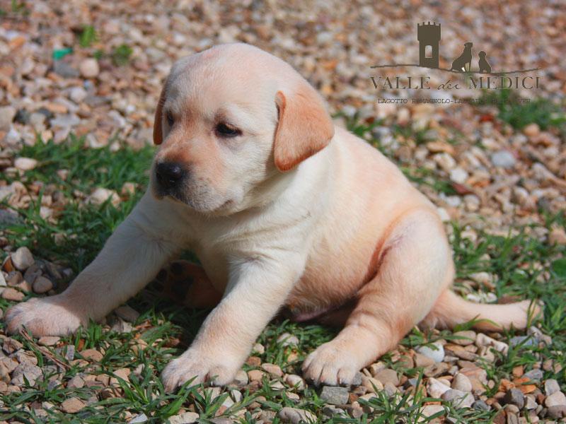 carattere labrador cucciolo