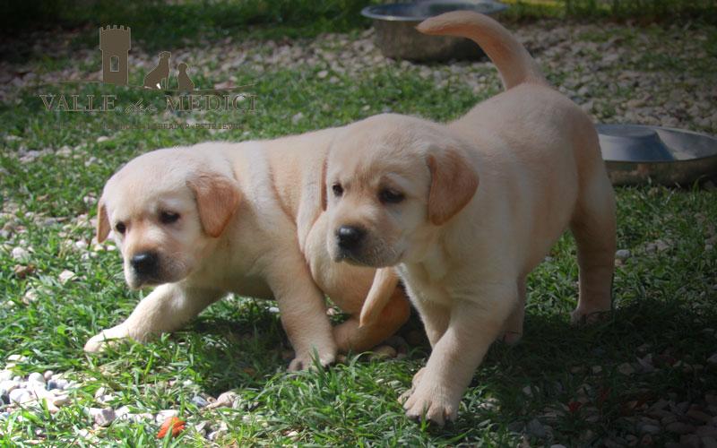 fratelli cuccioli labrador