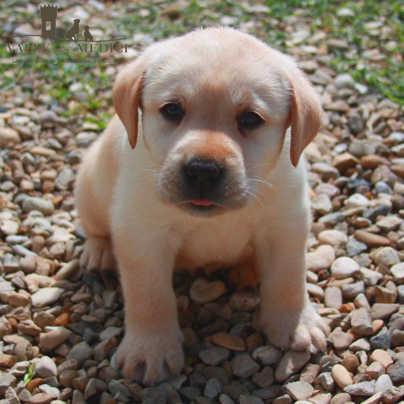labrador cuccioli pedigree