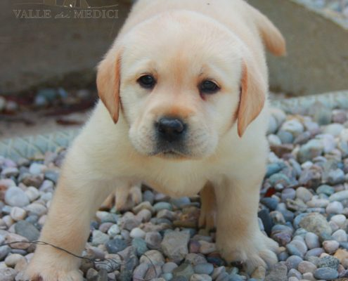 labrador cucciolo disponibili