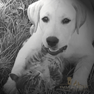 labrador retriever gatto