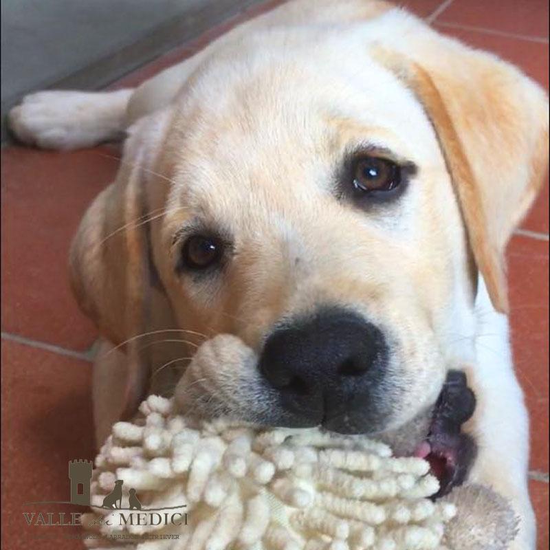 labrador retriever cucciolo miglior