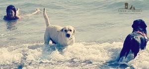 labrador retriever mare