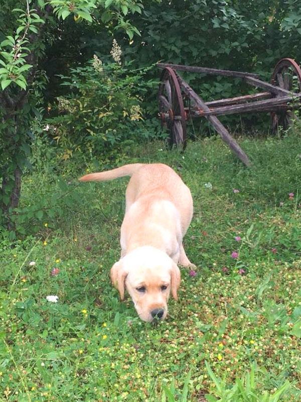 prezzi cucciolo labrador allevamento
