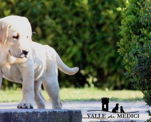 labrador retriever cucciolo