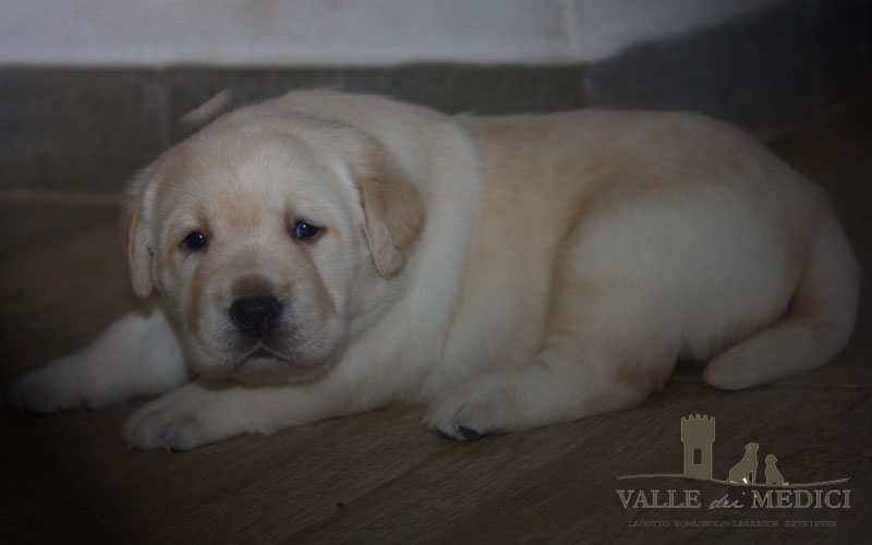 as cuccioli labrador disponibili allevamento