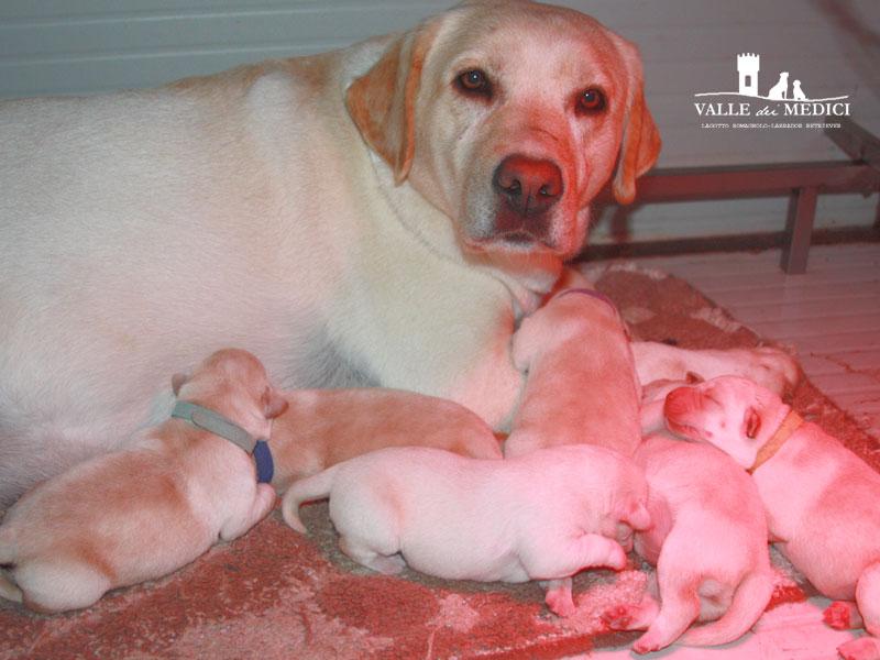 labrador cuccioli biondi
