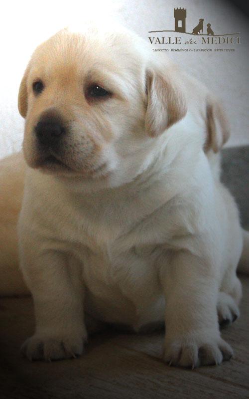 oc labrador miele cuccioli
