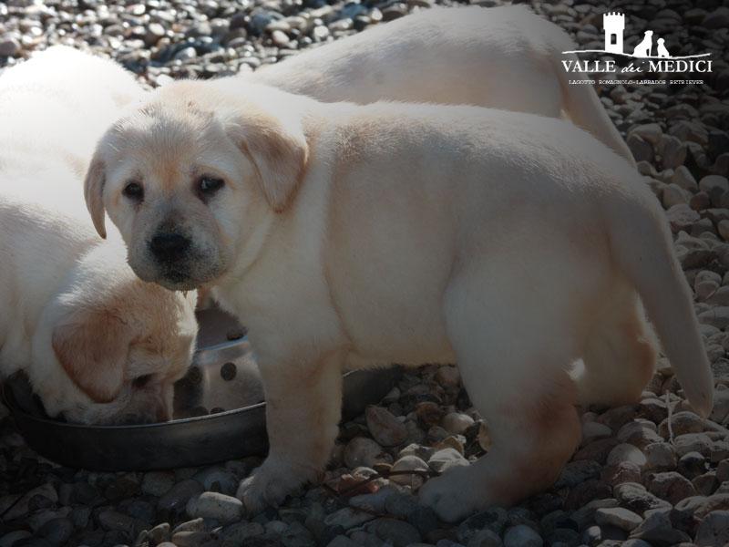 primo cane labrador