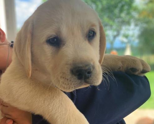 cucciolo labrador 4