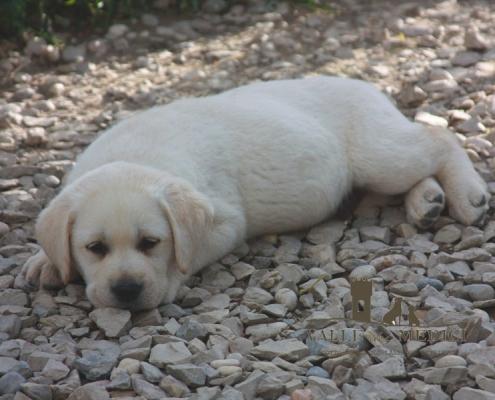 kil cuccioli labrador prezzi