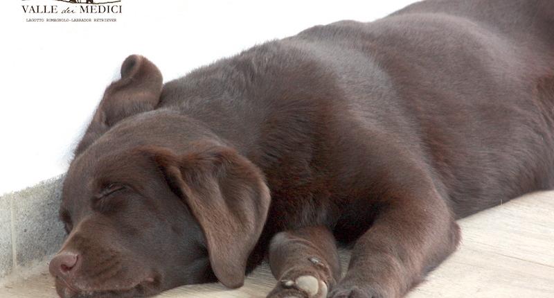 cucciolo marrone labrador