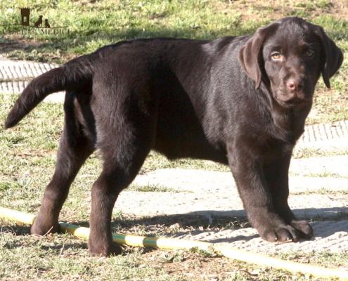 labrador cioccolato cucciolo