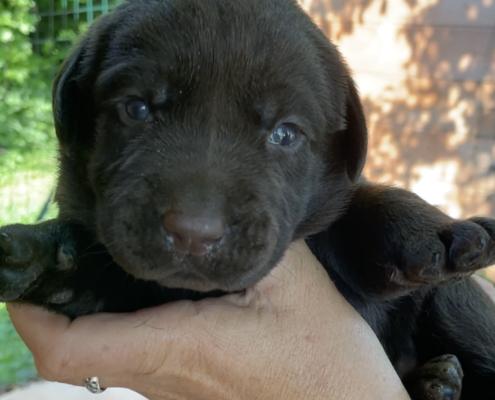 maschio labrador cucciolo marrone