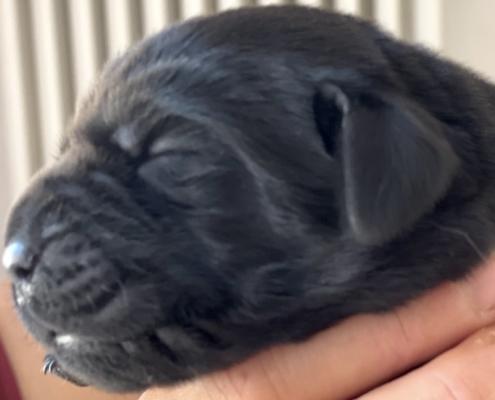 maschio labrador nero